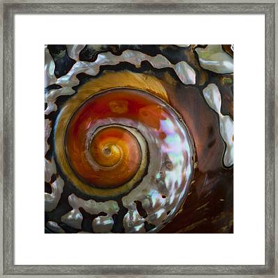 South African Turban Shell Framed Print by Carol Leigh
