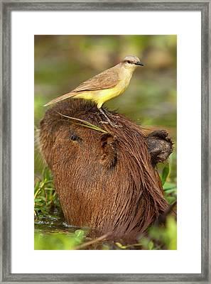 South America, Brazil, Pantanal, Cattle Framed Print by Joe and Mary Ann Mcdonald