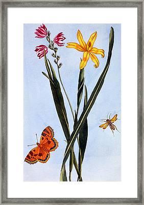 South American Ixia Framed Print by Pierre Joseph Buchoz