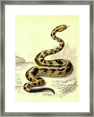 South American Rattlesnake Framed Print by Collection Abecasis
