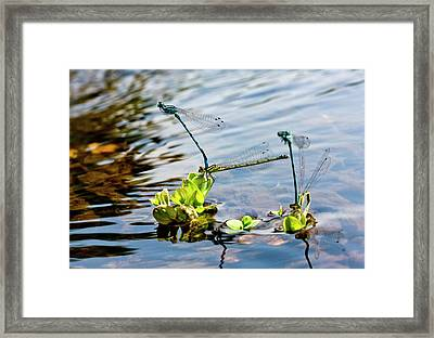 Southern Damselflies Mating Framed Print by Bob Gibbons