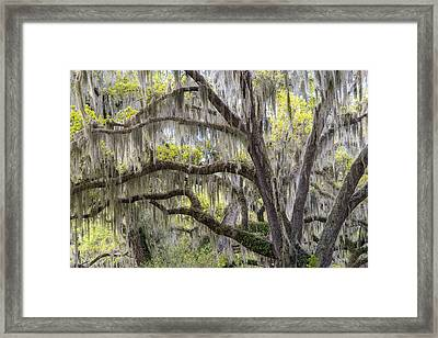 Southern Live Oak With Spanish Moss Framed Print by Scott Leslie