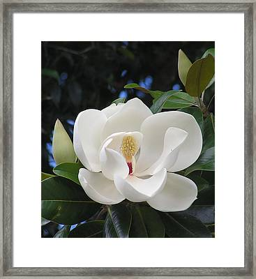 Southern Magnolia Framed Print by Margaret Saheed