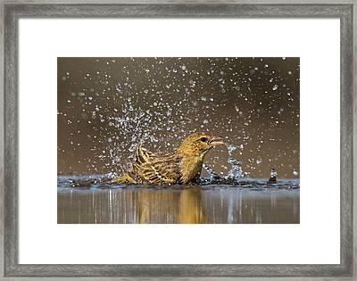 Southern Masked Weaver Bathing Framed Print by Tony Camacho
