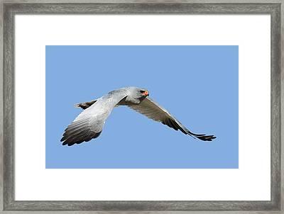 Southern Pale Chanting Goshawk In Flight Framed Print by Johan Swanepoel