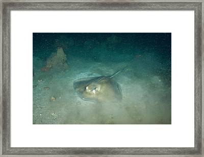 Southern Sting Ray Framed Print by Andrew J. Martinez