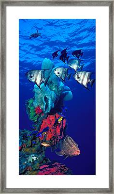 Spadefishes With Nassau Grouper Framed Print by Panoramic Images