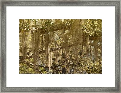 Spanish Moss On Live Oaks Framed Print by Christine Till