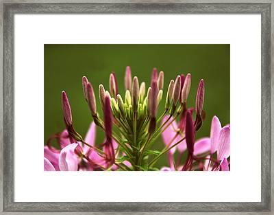 Sparkler Blush Framed Print by Jessica Jenney