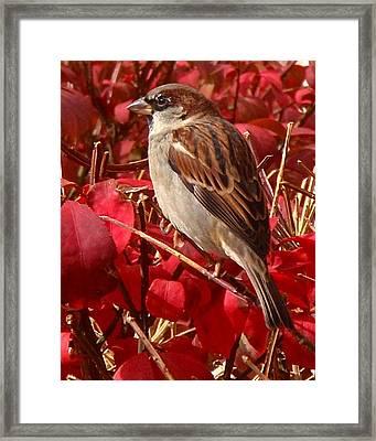 Sparrow Framed Print by Rona Black