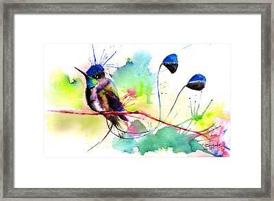 Spatuletail Hummingbird Framed Print by Isabel Salvador