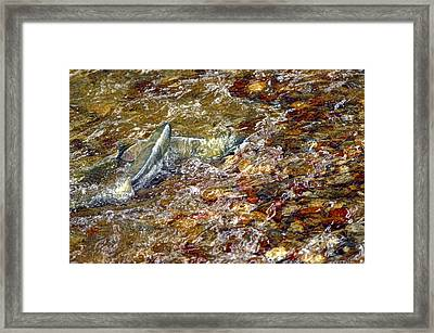 Spawning Chum Framed Print by Sharon Talson