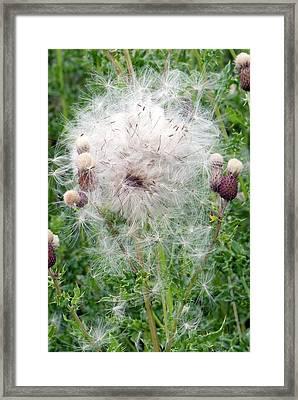 Spear Thistle Seedheads Framed Print by Adrian Thomas