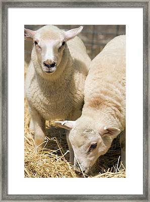 Specially Bred Lambs Framed Print by Peggy Greb/us Department Of Agriculture