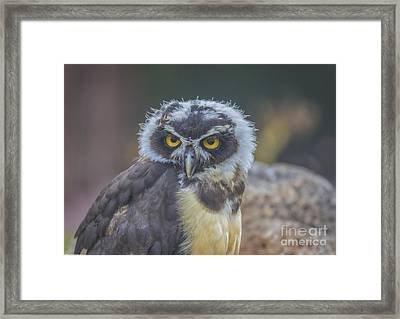 Spectacle Owl Framed Print by Mitch Shindelbower