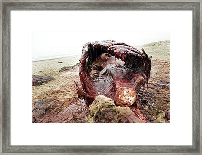 Sperm Whale Carcass Framed Print by Thomas Fredberg