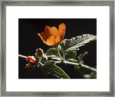 Sphaeralcea Ambigua Framed Print by Joe Schofield