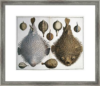 Sphoeroides Sp Pufferfish Framed Print by Natural History Museum, London