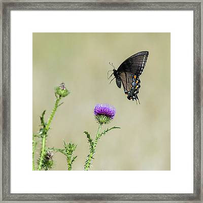 Spicebush Swallowtail 1 Framed Print by David Lester