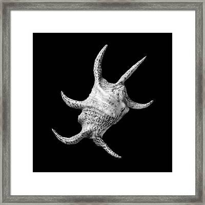Spider Conch Seashell Framed Print by Jim Hughes