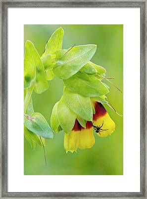Spider On Honeywort (cerinthe Major) Framed Print by Bob Gibbons