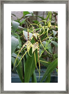 Spider Orchid (brassia 'eternal Wind') Framed Print by Neil Joy