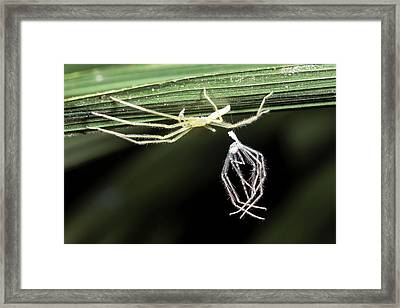 Spider With Shed Skin Framed Print by Dr Morley Read