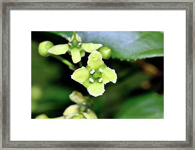 Spindle (euonymus Europaeus) Flowers Framed Print by Bruno Petriglia