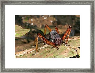 Spiny Lobster Katydid Framed Print by Dr Morley Read