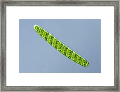 Spirotaenia Sp. Green Alga Framed Print by Gerd Guenther