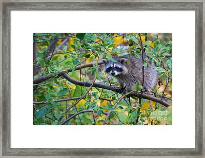 Spokane Raccoon Framed Print by Inge Johnsson