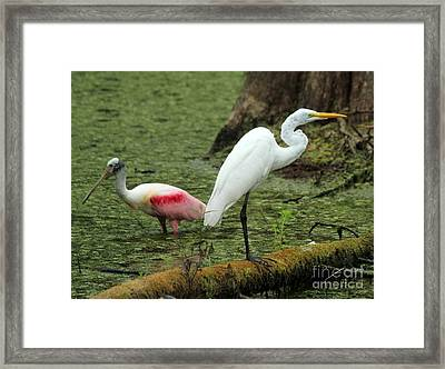 Spoonbill And Egret Framed Print by Theresa Willingham