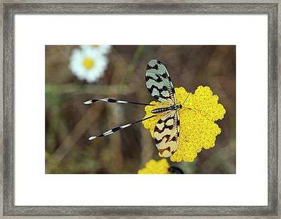 Spoonwing Lacewing On Achillea Flowers Framed Print by Bob Gibbons