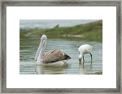 Spot-billed Pelican & Eurasian Spoonbill Framed Print by Tony Camacho