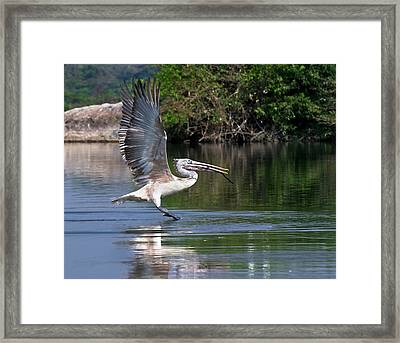 Spot-billed Pelican Taking Off Framed Print by K Jayaram