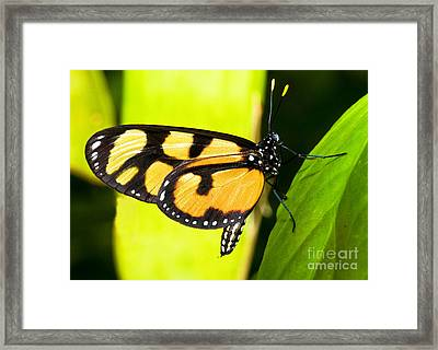Spotted Amberwing Butterfly Framed Print by Millard H. Sharp