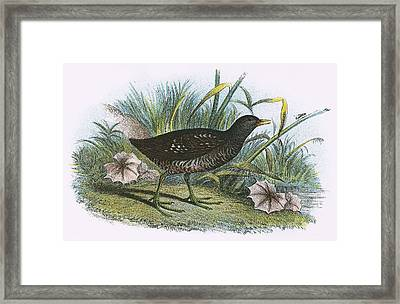 Spotted Crake Framed Print by English School
