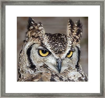 Spotted Eagle Owl Or African Eagle Owl Framed Print by Nigel Downer