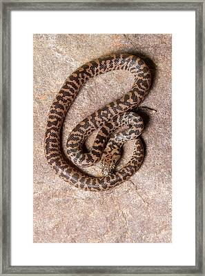 Framed Print featuring the photograph Spotted Python Antaresia Maculosa Top by David Kenny