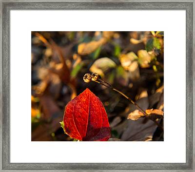 Spotted Wintergreen Seedpod And Sawbriar Leaf Framed Print by Douglas Barnett