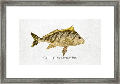 Spottedtail Morwong Framed Print by Aged Pixel