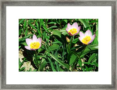 Spring Crocus Framed Print by Aimee L Maher Photography and Art Visit ALMGallerydotcom