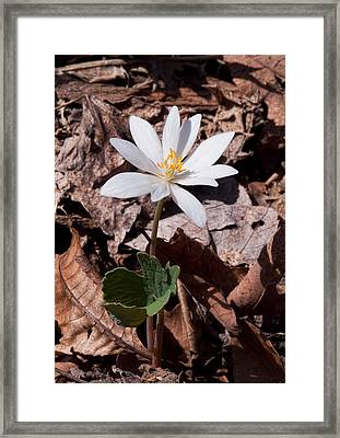 Spring Bloodroot Wildflower 2 Framed Print by Lara Ellis
