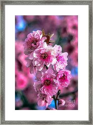 Spring Blossoms Framed Print by Robert Bales
