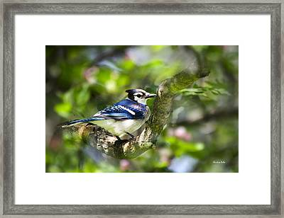 Spring Blue Jay Framed Print by Christina Rollo
