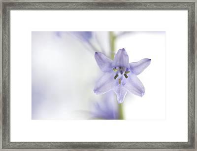 Spring Bluebells Framed Print by Carol Leigh