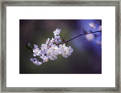 Spring Cherry Bloom Framed Print by Jenny Rainbow