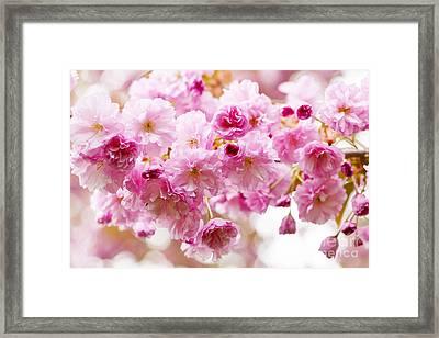 Spring Cherry Blossoms  Framed Print by Elena Elisseeva