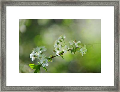 Spring Cherry Branch Framed Print by Jenny Rainbow