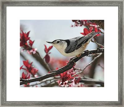 Spring Colors Nuthatch Framed Print by Lara Ellis